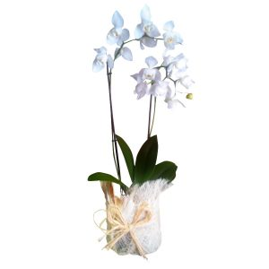 Phalaenopsys - Orquídea-0