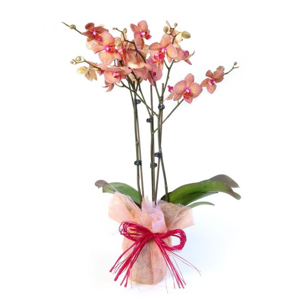 Vaso de Orquídeas-0
