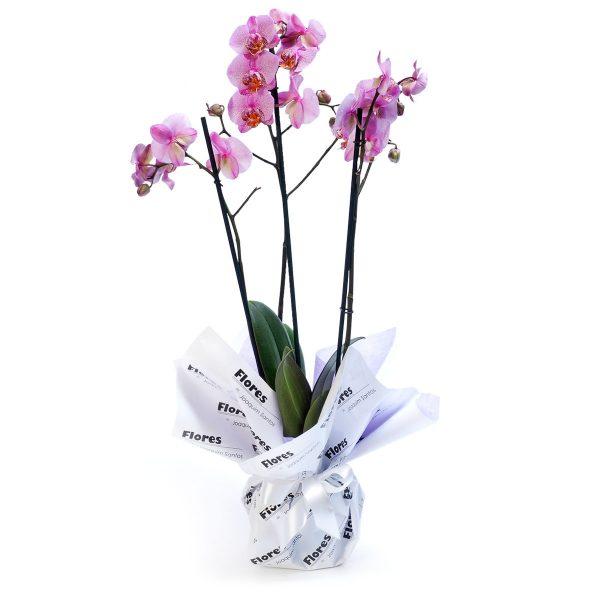 Orquídea Phalaenopsys-0